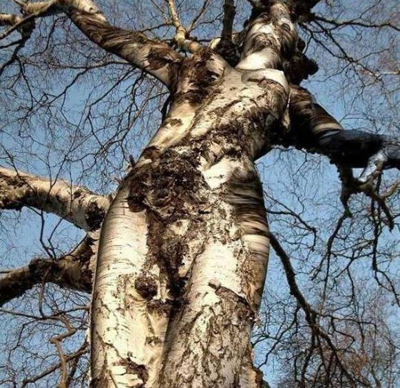 A Gray Birch tree. — en Marion, Virginia El Moderador